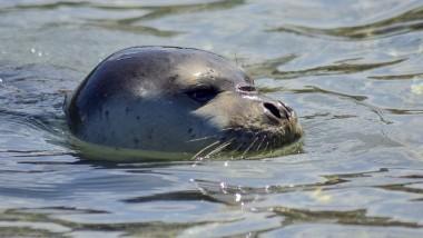 Αλόννησος: Προκαταρκτική έρευνα για τον θάνατο του «Κωστή», της φώκιας-σύμβολο του νησιού