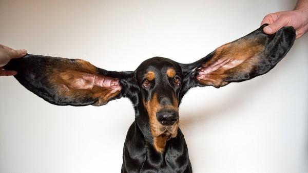 Ο σκύλος με τα μεγαλύτερα αυτιά στον κόσμο